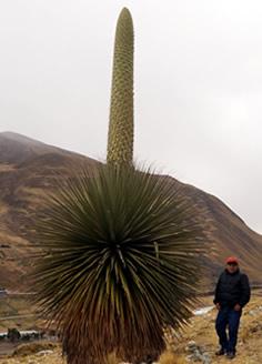 Puya Raimondi Pastoruri Huaraz